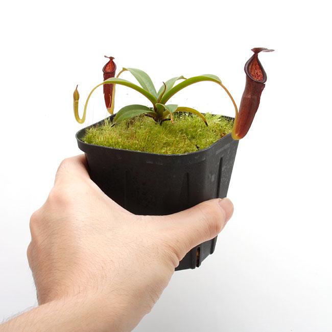 Nepenthes izumiae x inermis  [ ネペンテス・イズミアエ x イネルミス ] 【 PN200722-07 】