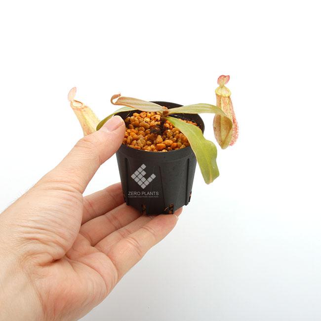 "Nepenthes ampullaria "" LIME TWIST "" [ ネペンテス・アンプラリア ""ライムツイスト"" ] 【 Borneo Exotics / BE-3390 】【 PN181130-15 】"