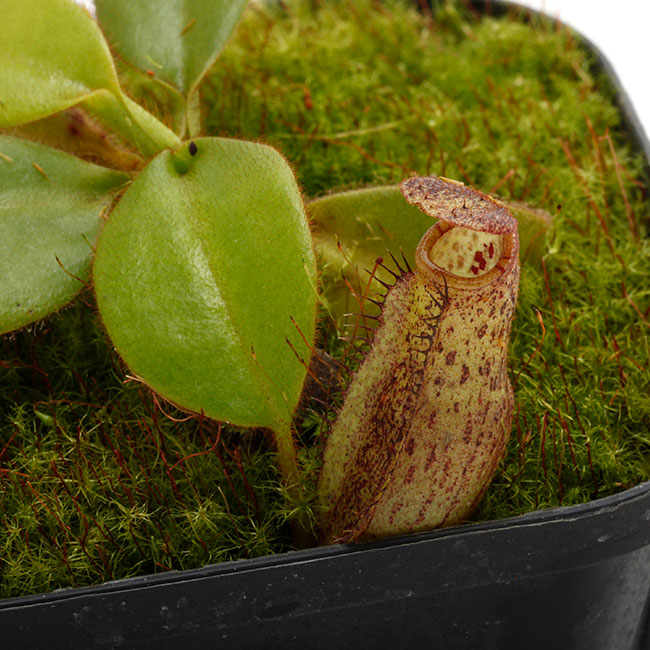 Nepenthes eymae [ ネペンテス・エイマエ ] 【 PN201214-11 】