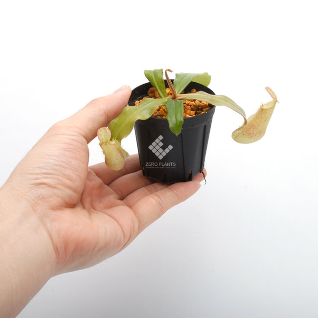 "Nepenthes ampullaria "" LIME TWIST "" [ ネペンテス・アンプラリア ""ライムツイスト"" ] 【 Borneo Exotics / BE-3390 】【 PN181130-11 】"