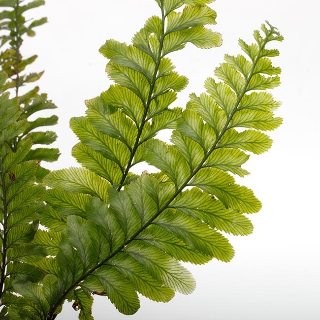 Cephalomanes javanicum var. asplenioides ? [ セファロマネス・ジャバニカム var. アスプレニオイデス ] 【 PN200318-19 】