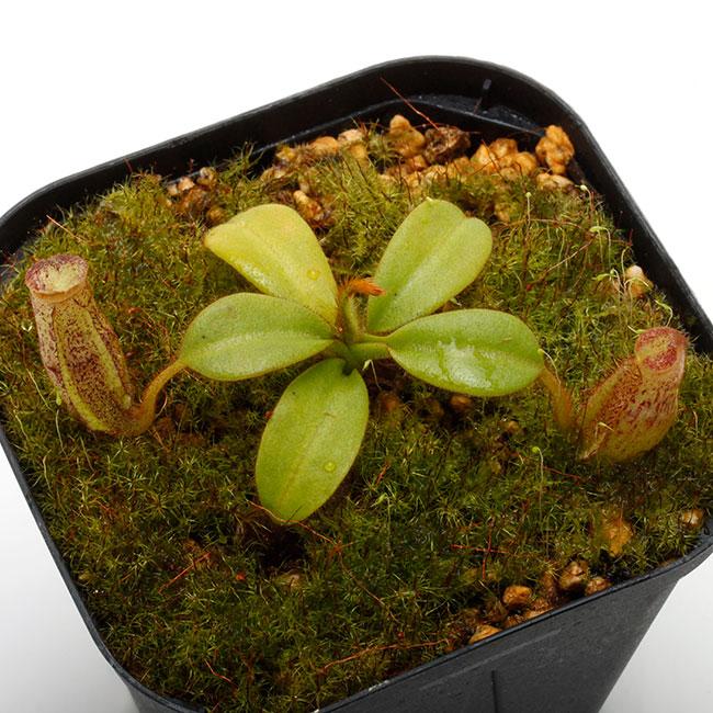Nepenthes eymae [ ネペンテス・エイマエ ] 【 PN201214-02 】