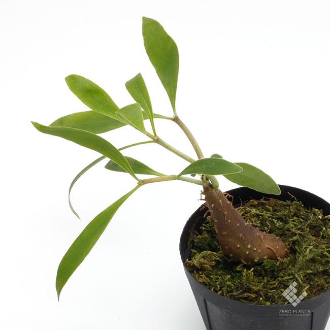 Hydnophytum moseleyanum [ ヒドノフィツム・モセレヤナム ] 【 PN181108-05 】