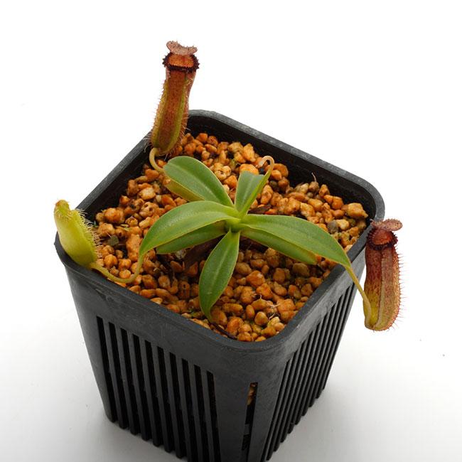 Nepenthes hamata × edwardsiana [ ネペンテス・ハマタ×エドワードシアナ ] 【 PN190808-19 】