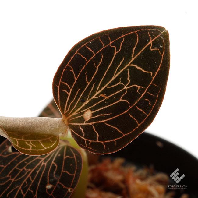 Anoectochilus sp. [ アネクトキルス sp. ] 【 PN200124-06 】 ( ジュエルオーキッド )