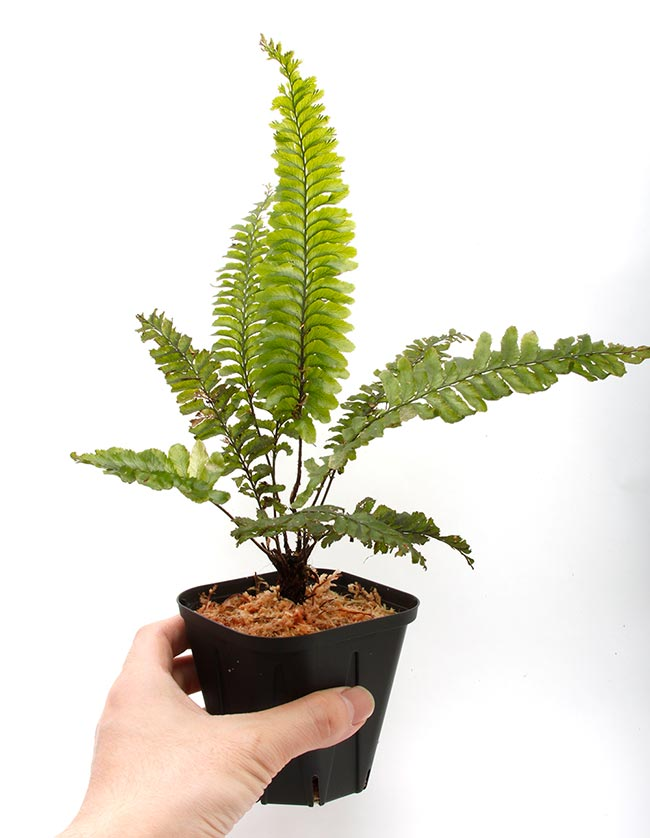 Cephalomanes javanicum var. asplenioides ? [ セファロマネス・ジャバニカム var. アスプレニオイデス ] 【 PN200318-20 】
