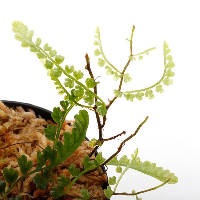 Teratophyllum aculeatum [ テラトフィラム・アクレアタム ] 【 PN210519-22 】