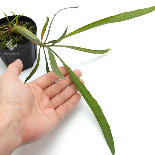 Myrmephytum longissimum  (nomen nudum) [ ミルメフィツム・ロンギッシマム ] 【 PN180628-13 】
