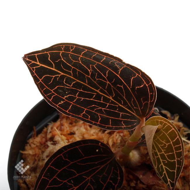 Anoectochilus sp. [ アネクトキルス sp. ] 【 PN200124-07 】 ( ジュエルオーキッド )