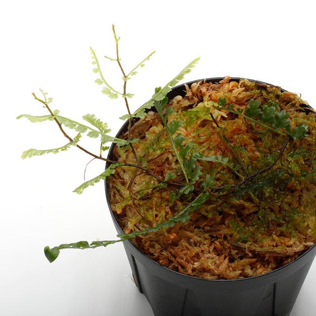 Teratophyllum aculeatum [ テラトフィラム・アクレアタム ] 【 PN210519-23 】