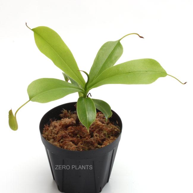 ネペンテス・アラタ 1ポット 【 ビバリウム、パルダリウムに使いやすい植物 】
