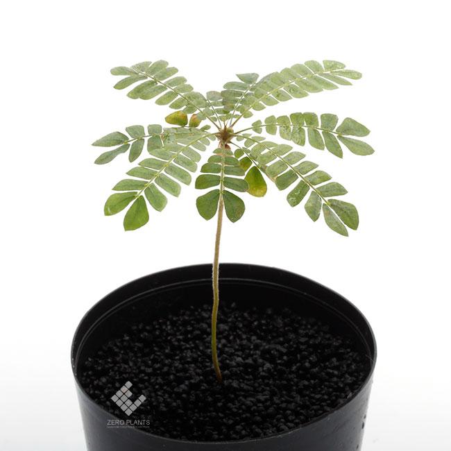Biophytum sensitivum [ ビオフィツム・センシティヴム ]  1ポット 【 小型のヤシの木ようで可愛らしくとても人気!! 】