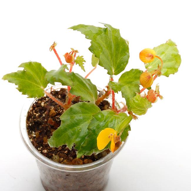 Begonia prismatocarpa [ ベゴニア・プリスマトカルパ ] 1ポット 【 ビバリウム、パルダリウムに使いやすい植物 】