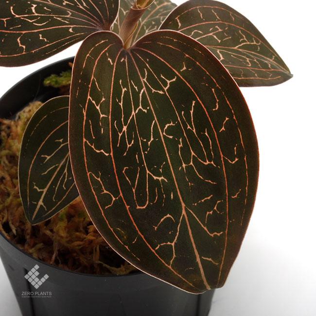 Anoectochilus chapaensis [ アネクトキルス・チャパエンシス ] 【 PN200124-09 】 ( ジュエルオーキッド )