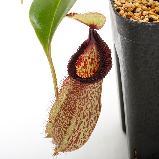 Nepenthes hamata x robcantleyi [ ネペンテス・ハマタ×ロブキャントレイ ] 【 Borneo Exotics / BE-3755 】【 PN200205-135 】