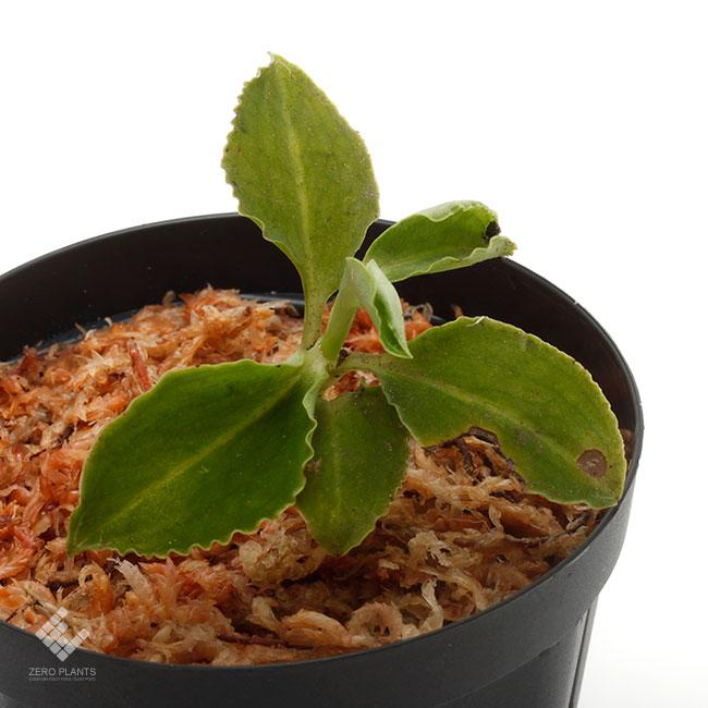 Kuhlhasseltia sp. [ クールハッセルティア sp. ] 【 PN200124-10 】 ( ジュエルオーキッド )