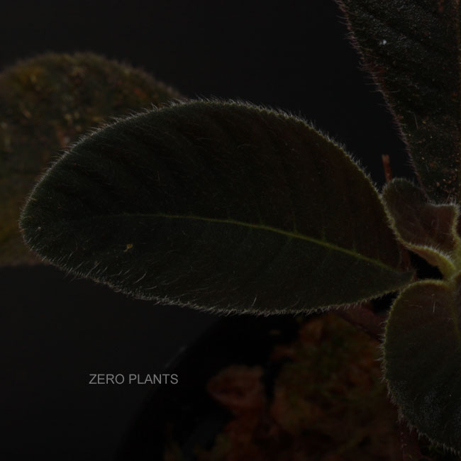 """Codonoboea sp. ? """" West Sumatera """" [ コドノボエア sp. ? ] 【 PN180509-08 】"""