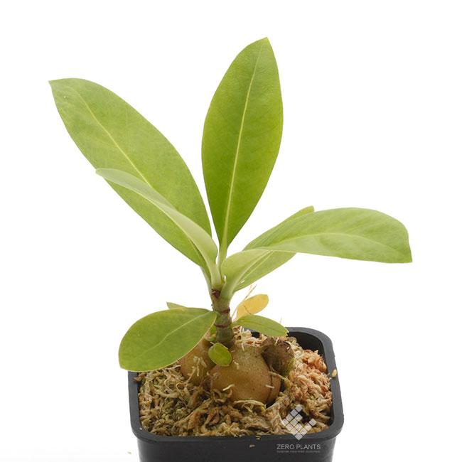 Anthorrhiza bracteosa ' Normanby ' [ アントルリザ・ブラクテオサ ] 【 PN190820-02 】 【 パプアニューギニア固有種となるアリダマ第5属目!! 】