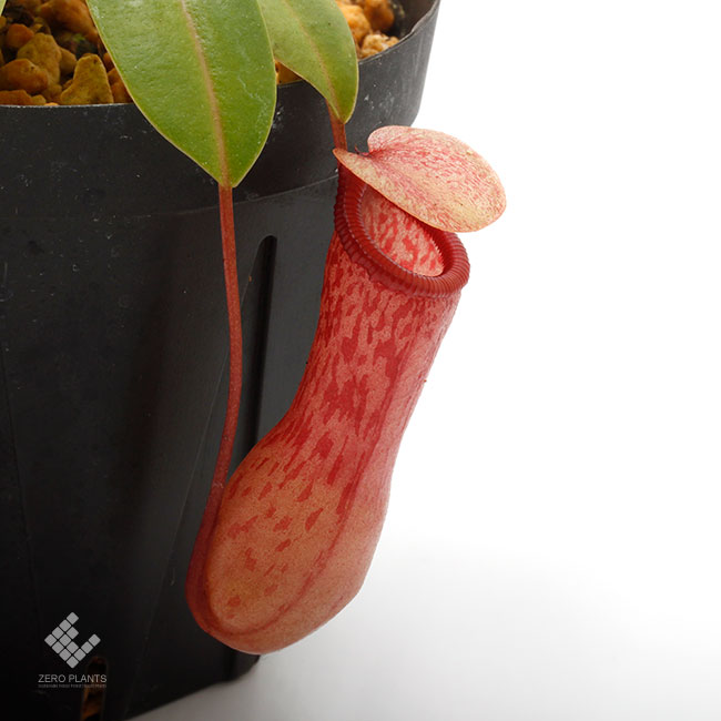 Nepenthes ventricosa [ ネペンテス・ベントリコーサ ] 【 Borneo Exotics / BE-3772 】【 PN190122-48 】