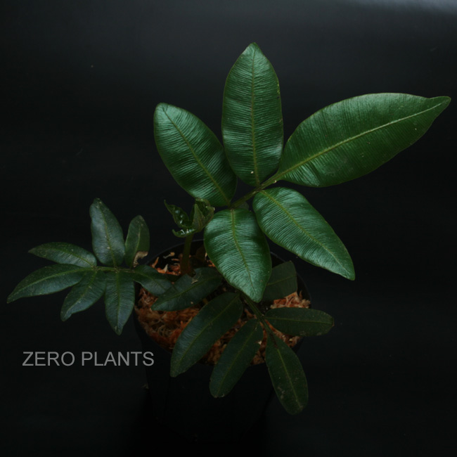 "Danaea erecta ""Ecuador"" [ ダナエア・エレクタ ] 【 PN180312-10 】"