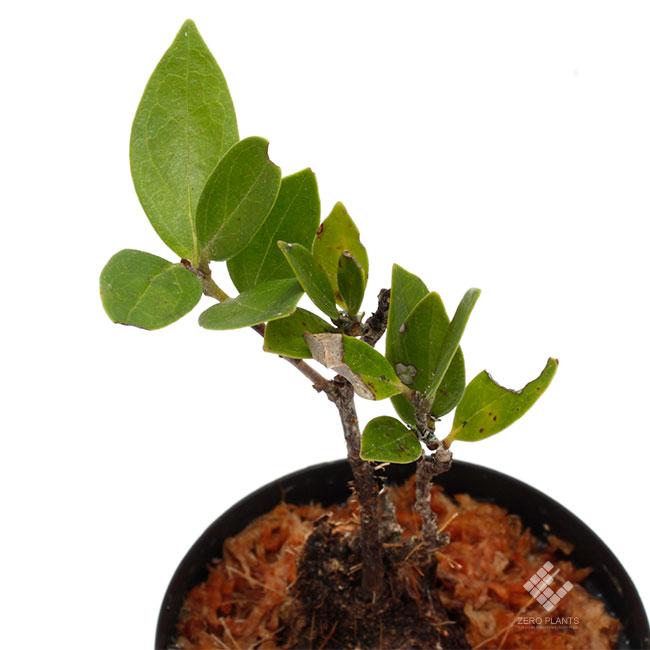 "Macleania sp. ""Vilcabamba "" [ マクレアニア sp. "" ビルカバンバ "" ] 【 PN181117-12 】"