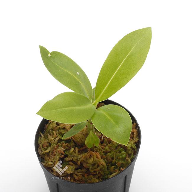 Anthorrhiza bracteosa ' Normanby ' [ アントルリザ・ブラクテオサ ] 【 PN190820-03 】 【 パプアニューギニア固有種となるアリダマ第5属目!! 】