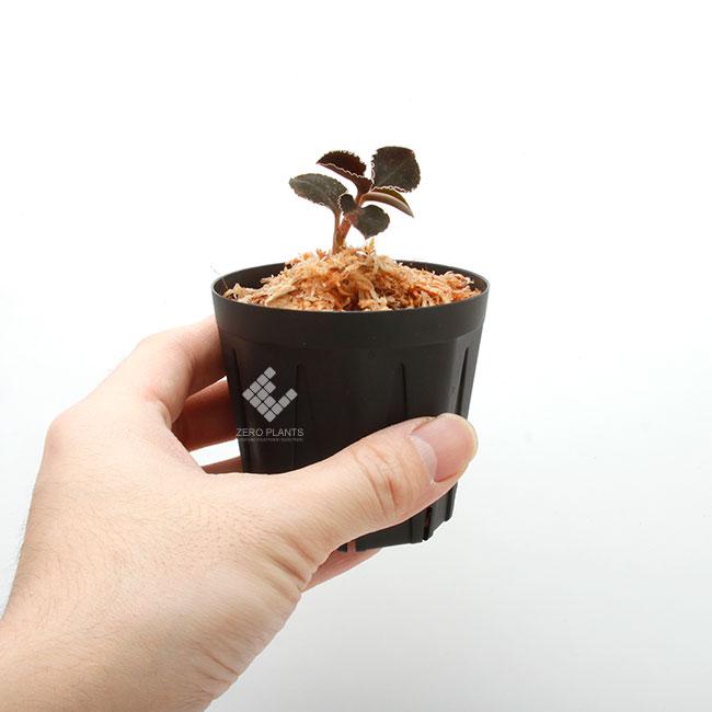Kuhlhasseltia javanica [ クールハッセルティア・ジャバニカ ] 【 PN200124-12 】 ( ジュエルオーキッド )