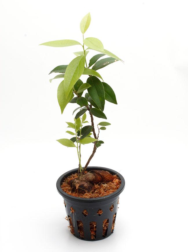 "Macleania sp. ""Vilcabamba "" [ マクレアニア sp. "" ビルカバンバ "" ] 【 PN181117-13 】"