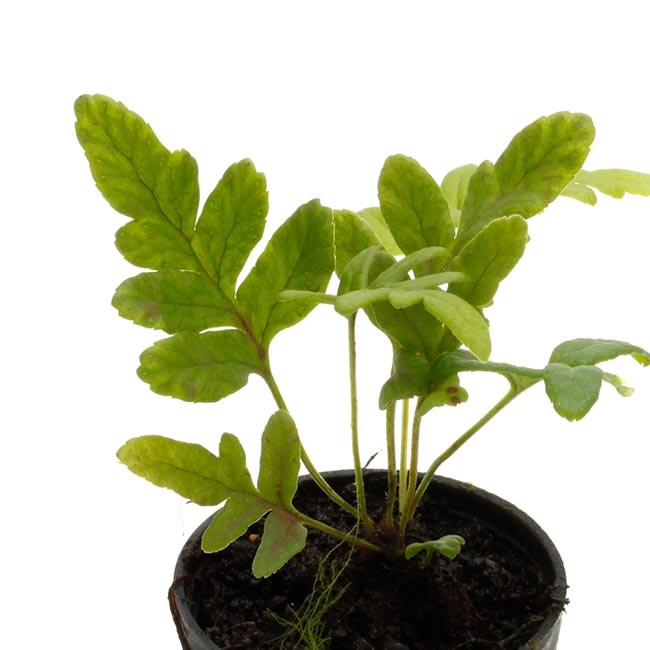 Polypodium vulgare [ ポリポディウム・ブルガレ / オオエゾデンダ ] 1ポット 【 パルダリウム、ビバリウムに使いやすい植物 】