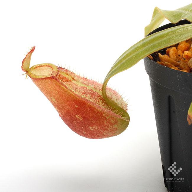 "Nepenthes ampullaria "" HARLEQUIN "" [ ネペンテス・アンプラリア ""ハーレクイーン"" ] 【 Borneo Exotics / BE-3681 】 1ポット"