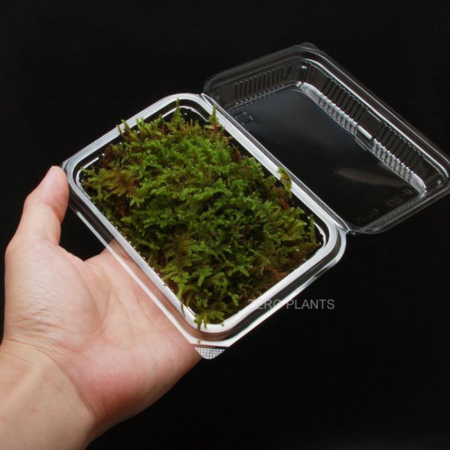 ハイゴケ 1パック 【 ビバリウム、パルダリウムに使いやすい植物 】