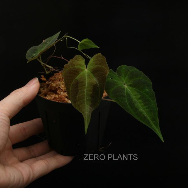 "Dioscorea sp. ""Tarapoto, Peru"" [ ディオスコレアsp. ""タラポト、ペルー"" ] 【 PN180312-13 】"