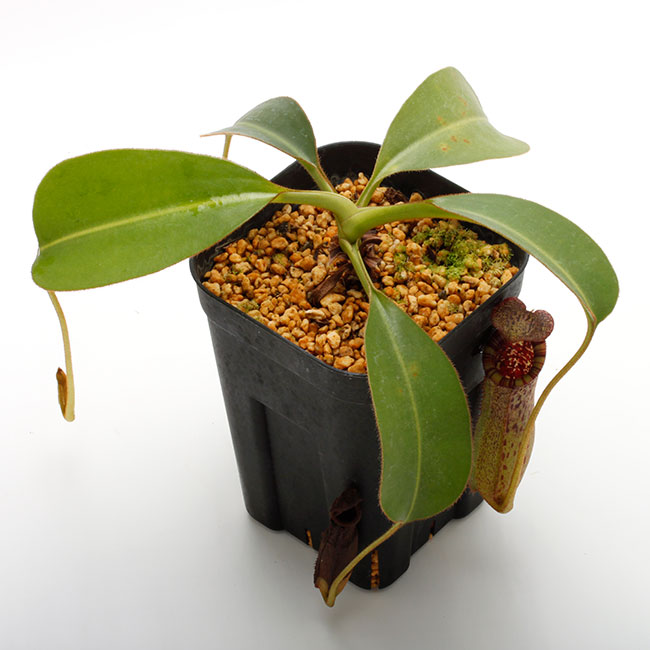 Nepenthes burbidgeae x lowii  [ ネペンテス・バービッジアエ x ローウィー ] 【 PN190820-06 】