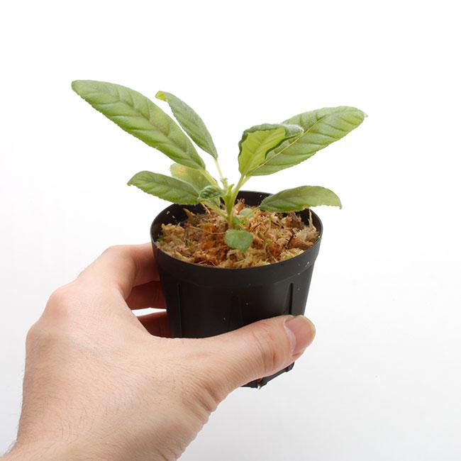 "Codonoboea sp. "" West Sumatera "" [ コドノボエア sp. 西スマトラ ] 【 PN210330-15 】"