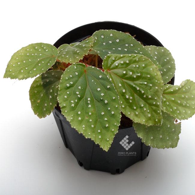 "Begonia sp. "" West Sumatra "" [ ベゴニア sp. 西スマトラ ] 1ポット"