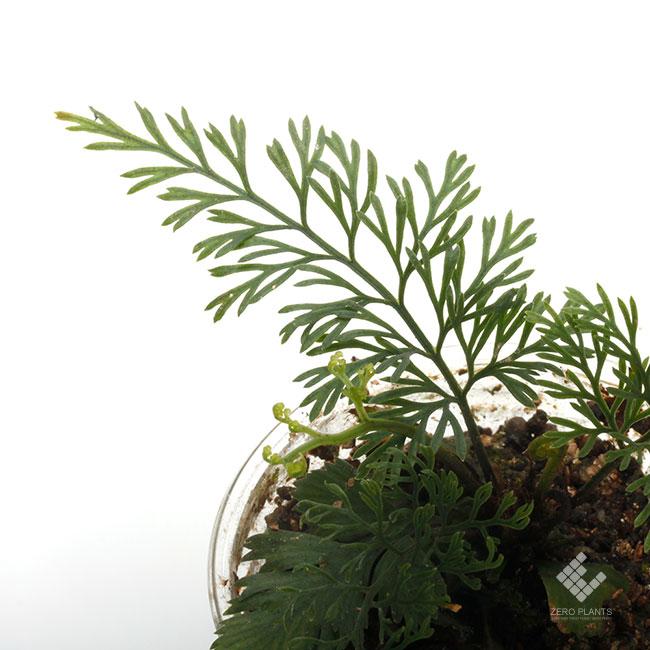 Asplenium bulbiferum [ アスプレニウム・ブルビフェルム ] 1ポット 【 葉が繊細で美しいシダ 】