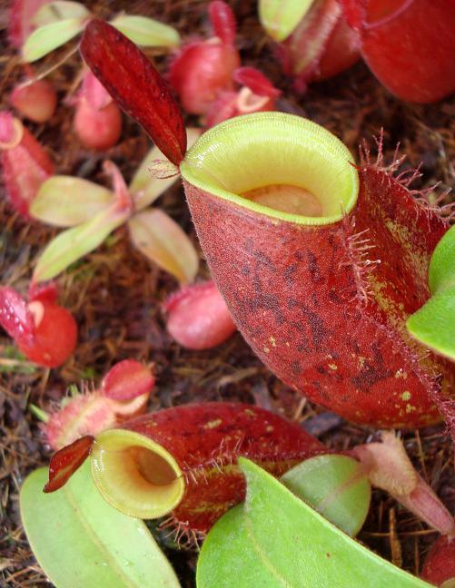 "Nepenthes ampullaria "" LIME TWIST "" [ ネペンテス・アンプラリア ""ライムツイスト"" ] 【 Borneo Exotics / BE-3390 】【 PN181130-16 】"