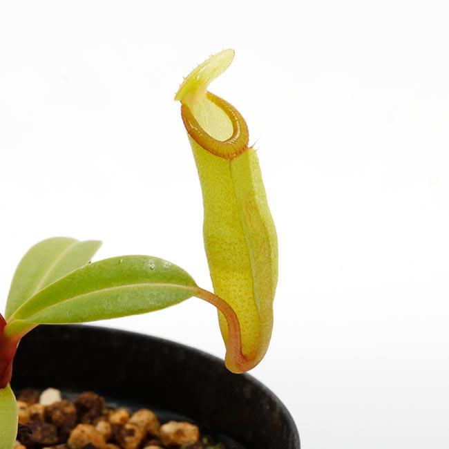 Nepenthes inermis / Gunung Gadut [ ネペンテス・イネルミス ] 【 PN200504-01 】