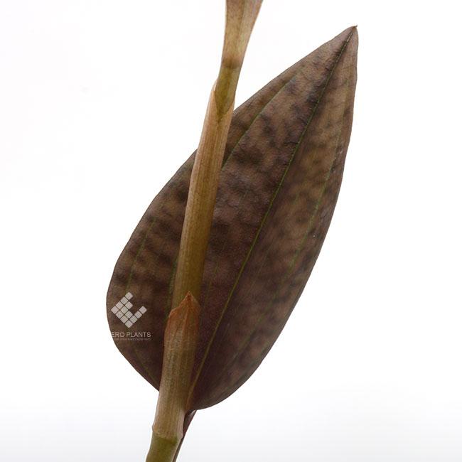 Nephelaphyllum pulchrum [ ネフェラフィラム・プルクラム ] 【 PN200124-13 】 ( ジュエルオーキッド )