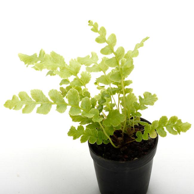 Blechnum spicant [ ブレクナム・スピカント ] 1ポット 【 ビバリウム、パルダリウムに使いやすい植物 】