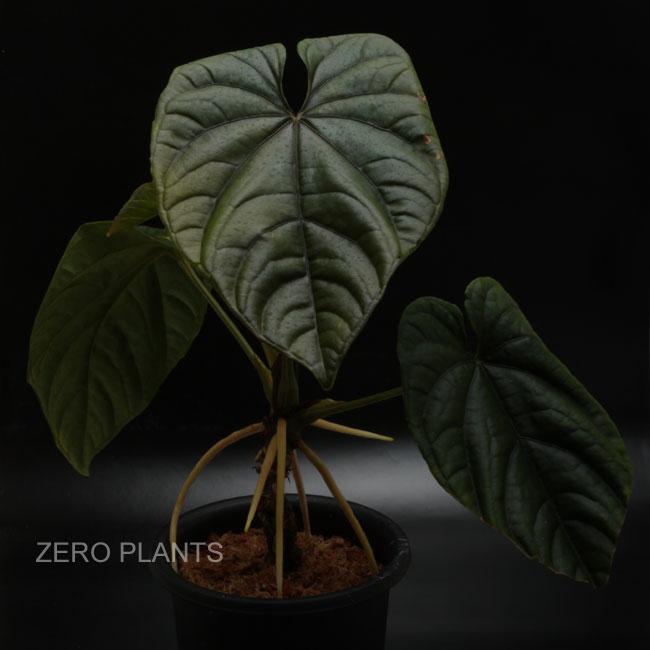Anthurium debilis [ アンスリウム・デビリス ] 【 PN180312-16 】