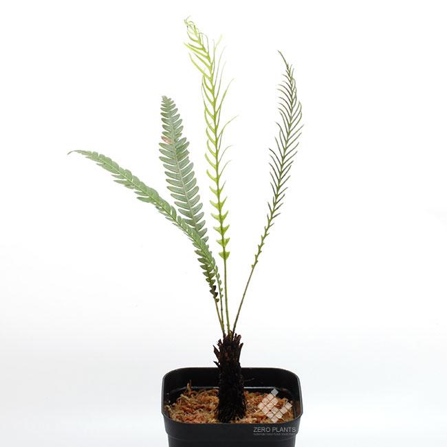 Blechnum obtusatum var. obtusatum ( L ) [ ブレクナム・オブツサタム var. オブツサタム ] 【 PN181201-03 】