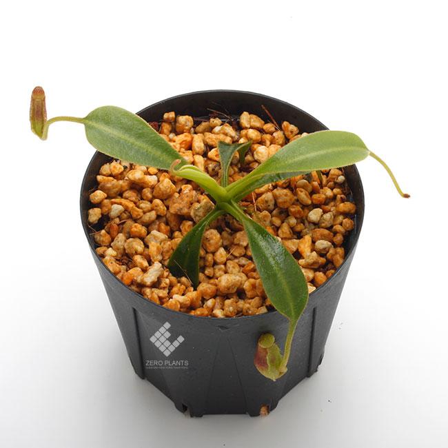 """Nepenthes lowii """"Gunung Trusmadi """"  [ ネペンテス・ローウィー ] 【 PN190820-09 】"""