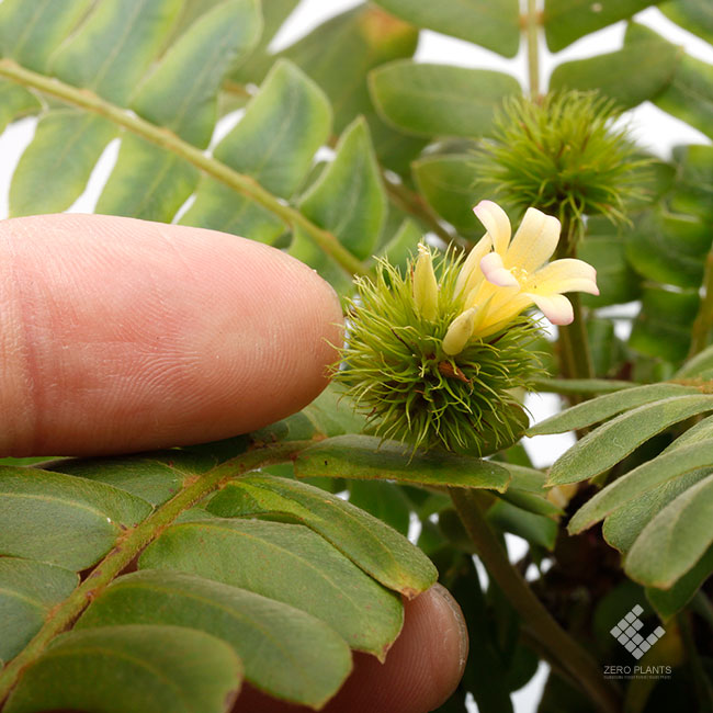 "Biophytum sp. "" Ecuador / Type-001 "" [ ビオフィツムsp. ""エクアドル"" ]  1ポット 【 エクアドル産の謎ビオフィツム 】"