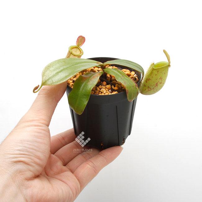 "Nepenthes ampullaria "" LIME TWIST "" [ ネペンテス・アンプラリア ""ライムツイスト"" ] 【 Borneo Exotics / BE-3390 】【 PN181130-14 】"