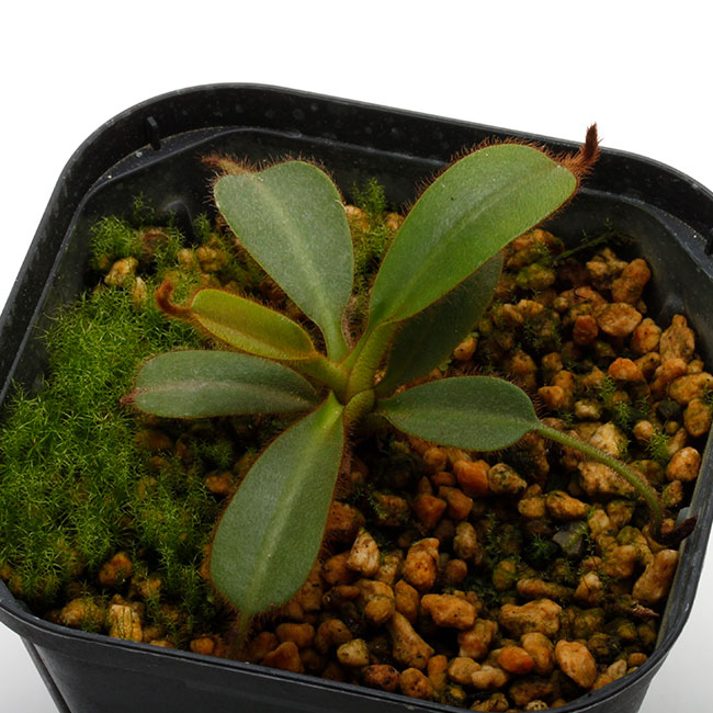 Nepenthes mollis (N. hurrelliana) [ ネペンテス・モリス ] 【 Borneo Exotics / BE-3921 (Lot No: B3021) 】【 PN200205-121 】