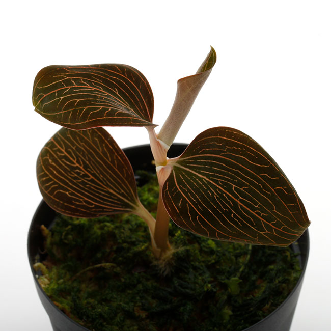 Anoectochilus sp. [ アネクトキルス sp. ] 【 PN210215-22 】 ( ジュエルオーキッド )
