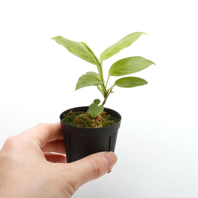 Philodendron aff. aurantiifolium [ フィロデンドロン aff. オウランティフォリウム ] 【 PN210330-18 】