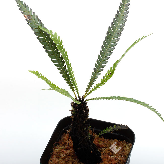 Blechnum obtusatum var. obtusatum ( L ) [ ブレクナム・オブツサタム var. オブツサタム ] 【 PN181201-04 】
