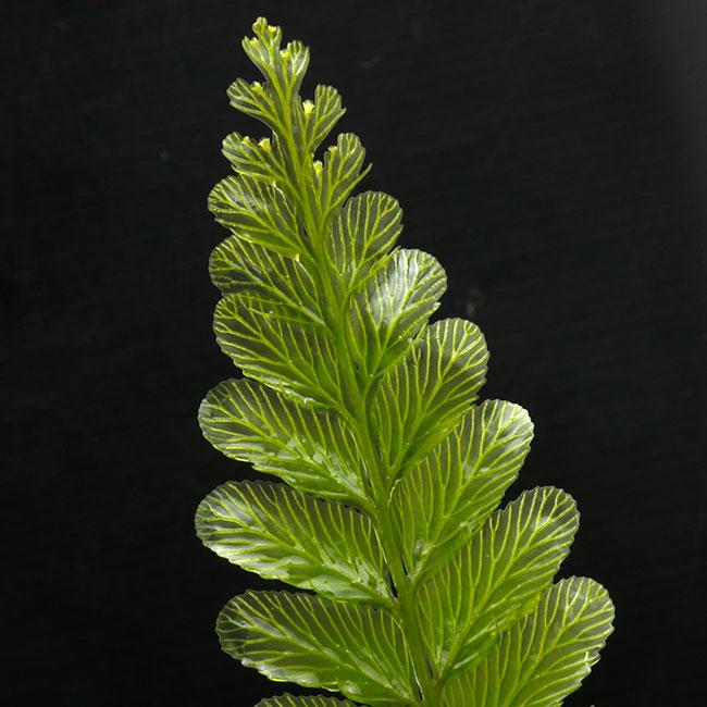 "Cephalomanes sp. ""TRAT, Thailand "" [ セファロマネス sp. ] 【 PN200808-09 】"